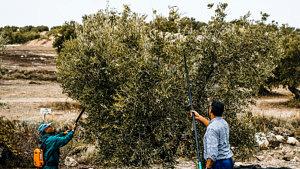 Olivenernte, Andalusien, Spanien