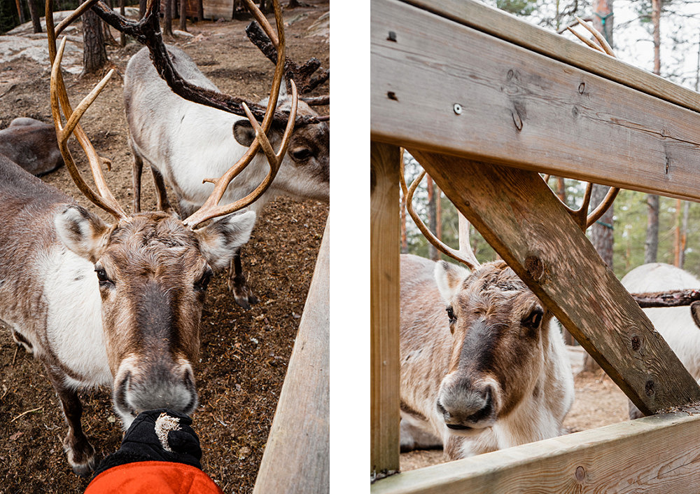 Finnland, Nuuksio Nationalpark, Espoo Finnland, Reindeer Park
