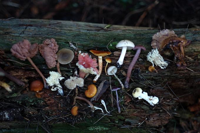 Pilze sammeln im Wald, Pilzator