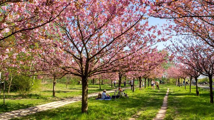 kirschblütenallee teltow